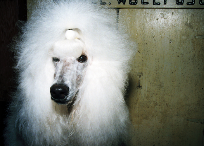 White Poodle, Lee County 4-H Center and Grounds, Amboy, 1998