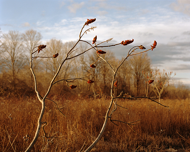 Sumac Branches, Germantown, New York, 2016
