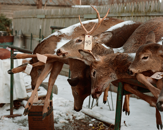 Deer Carcasses, Stockport, New York, 2016