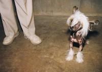 Mexican Hairless, Kalamazoo County Fairgrounds, Kalamazoo, Michigan, 1998  thumbnail