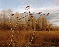 Sumac Branches, Germantown, New York, 2016 thumbnail