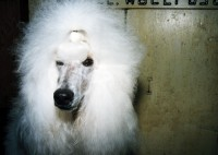 White Poodle, Lee County 4-H Center and Grounds, Amboy, 1998   thumbnail