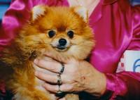 Pomeranian, State Fairgrounds, Des Moines, Iowa, 1998 thumbnail