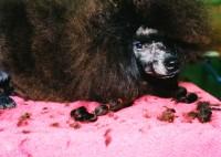Black Poodle, Waukesha County Expo Center, Waukesha, Wisconsin, 1998 thumbnail