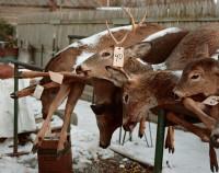 Deer Carcasses, Stockport, New York, 2016 thumbnail