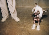 Mexican Hairless, Kalamazoo County Fairgrounds, Kalamazoo, Michigan, 1998  thumbnail