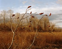 Sumac Branches, Germantown, New York, 2016 thumbnail
