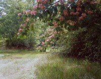 Mimosa Branches, Sparta Highway, Georgia, 2019 thumbnail