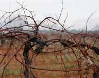 Grapevines, Germantown, New York, 2015 thumbnail
